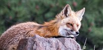 Nature Photography by Mark Ruckman | Fox on a rock