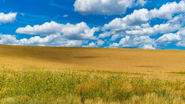 Golden wheat fields under a blue sky show landscapes of Color by Mark Ruckman