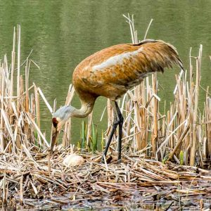 Sandhill Crane Egg Guardian by Mark Ruckman