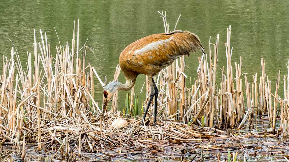 Sandhill Crane Egg Guardian by Mark Ruckman