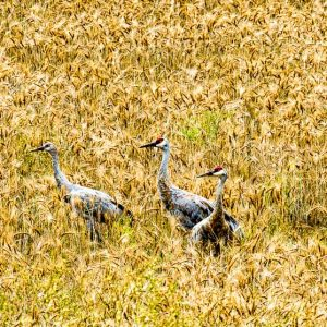 Golden Field with Cranes by Mark Ruckman