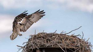 Grand Osprey - Hawk by Mark Ruckman