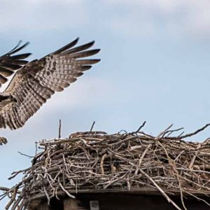 Grand Osprey - Hawk by Mark Ruckman