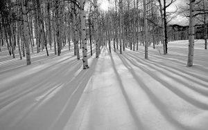 Aspen trees show their Long Shadows by Mark Ruckman