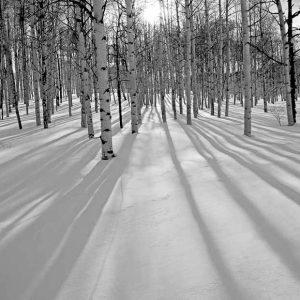 Aspen trees show their Long Shadows by Mark Ruckman