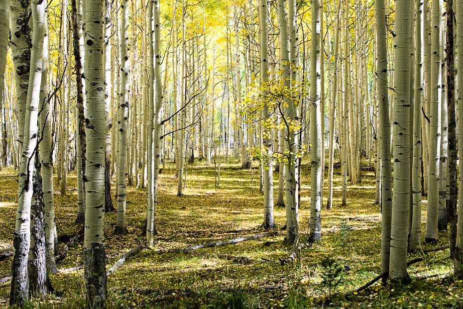 Aspen Trees in Fall show a Paradise Found by Mark Ruckman