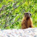 Road Side Marmot