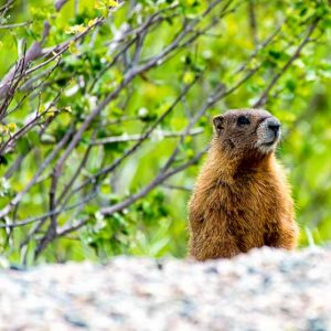 Road Side Marmot by Mark Ruckman