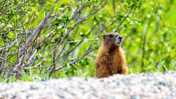 Road Side Marmot by Mark Ruckman