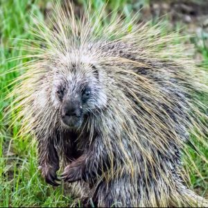 Mr Porcupine by Mark Ruckman