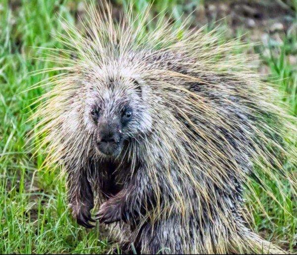 Mr Porcupine by Mark Ruckman